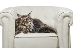 Maine Coon cat seating on white sofa look right. A beautiful Maine Coon cat seating on white couch and on white background, whit gray tiger hair, looking to the Stock Photos
