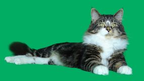 Maine coon cat serious and majestic tabby  of gray, black, white long-haired, is lying on a green background. A maine coon cat serious and majestic tabby  of Stock Image