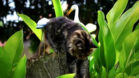 Maine Coon cat sharpening its claws on a tree Royalty Free Stock Image
