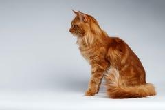 Maine Coon Cat Sits nella vista di profilo su bianco Immagine Stock