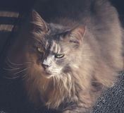 Maine Coon cat sitting on carpet. Vintage tone. Stock Photography