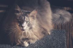 Maine Coon cat sitting on carpet. Vintage tone. Stock Images
