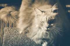 Maine Coon cat sitting on carpet. Vintage tone. Royalty Free Stock Image