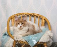 Maine coon cat sitting on chair in studio, portrait royalty free stock images
