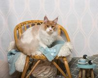 Maine coon cat sitting on chair in studio, portrait. On white Stock Images