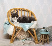 Maine coon cat sitting on chair in studio, portrait. On white Royalty Free Stock Images
