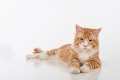 Maine Coon Cat Sitting curiosa en la tabla blanca con la reflexión Fondo blanco Mirada abajo Fotos de archivo libres de regalías