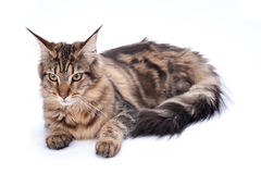 Maine coon cat, sitting and facing, isolated on white Royalty Free Stock Photo
