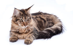 Maine coon cat, sitting and facing, isolated on white Royalty Free Stock Photography