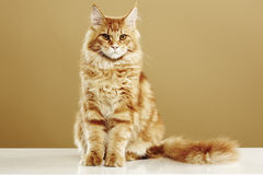 Maine coon cat. Sitting in front of a brown background Stock Images