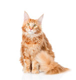 Maine coon cat sitting in front view. isolated on white Royalty Free Stock Photos
