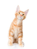 Maine coon cat  sitting in front view and looking up.  o Stock Photos