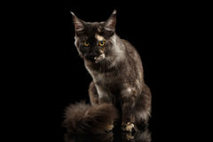 Maine Coon Cat Sitting, Furry Tail, Looks Grumpy  Black Royalty Free Stock Photo
