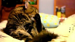 Maine coon cat sitting on his back and cleaning. Itself. Video shift motion 1920*1080 stock footage