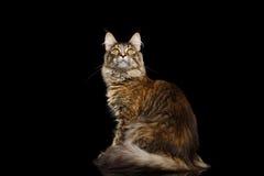 Maine Coon Cat Sitting, Interesse schauend lokalisiert auf schwarzem Hintergrund Stockfotografie