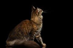 Maine Coon Cat Sitting, Interesse schauend lokalisiert auf schwarzem Hintergrund Lizenzfreies Stockbild
