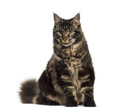 Maine Coon cat sitting isolated on white Stock Photo