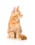 Maine coon cat sitting and looking away.  on white backg Stock Photography