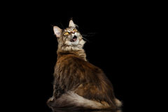 Maine Coon Cat Sitting, Looking up Isolated on Black Background Stock Photo