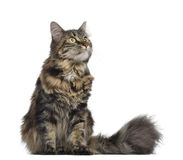 Maine coon cat, sitting and looking up Stock Image