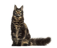 Maine Coon cat sitting and looking up isolated on white Royalty Free Stock Photography