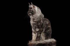 Maine Coon Cat Sitting and Looks Curious, Isolated Black Background Stock Photography