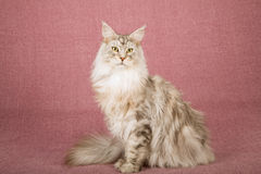 Maine Coon cat sitting on mauve background Stock Photo