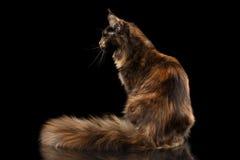 Maine Coon Cat Sitting mit lokalisiertem schwarzem Hintergrund Furryy Endstück Stockfoto