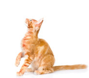 maine coon cat sitting in profile and looking up. isolated on white Stock Photography