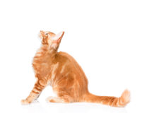 Maine coon cat sitting in profile and looking up.  on white Stock Images