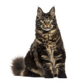 Maine Coon cat sitting and staring isolated on white Royalty Free Stock Photo