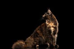 Maine Coon Cat Sitting und Schauen des zurück lokalisierten schwarzen Hintergrundes Lizenzfreie Stockfotos
