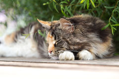 Maine coon cat sleep. On terrace under green bush Stock Photos