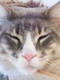 Maine coon cat sleep Stock Image