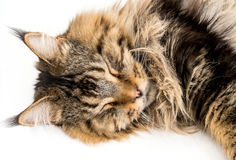 Maine Coon Cat Sleeping on White Background Royalty Free Stock Photo