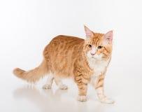 Maine Coon Cat Standing na tabela branca com reflexão Fundo branco imagem de stock royalty free