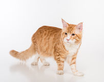 Maine Coon Cat Standing on the White Table with Reflection. White Background. Royalty Free Stock Image
