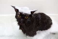 Maine Coon cat taking bath Royalty Free Stock Photo