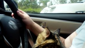 Maine Coon cat traveling with a host in car. 3840x2160, 4k stock video