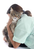 Maine coon cat an vet Royalty Free Stock Images