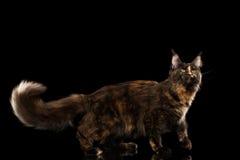 Maine Coon Cat Walking mit Pelzendstück lokalisiertem schwarzem Hintergrund Lizenzfreies Stockfoto