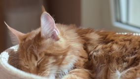 Maine coon cat washes. Funny Maine coon cat licks paw and washes his face at home. Adorable tabby kitten 7,5 months old close up. Beautiful red-haired kitty stock video footage
