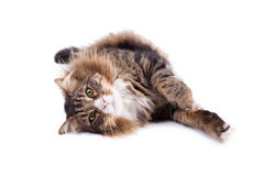 Maine Coon Cat On White Royalty Free Stock Photos