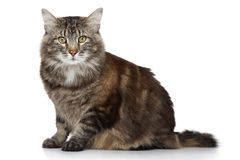 Maine Coon cat on white background Royalty Free Stock Photos