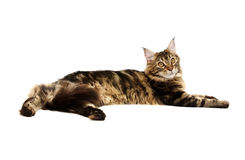 Maine coon cat on white background Royalty Free Stock Images