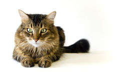 Maine Coon cat on white background (not isolated) Stock Photo