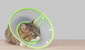 Free Maine Coon Cat With A Pet Cone Looking Anxiously Away. Stock Photos - 147527593