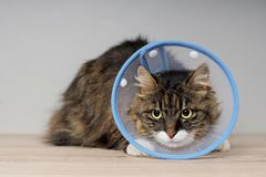 Free Maine Coon Cat With A Pet Cone Looking Anxiously Away. Stock Images - 153203174