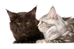 Maine coon cats Royalty Free Stock Images