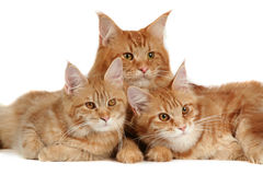 Maine coon cats. Over white background Royalty Free Stock Image